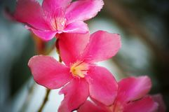Rosa/flores púrpuras del adelfa imagen de archivo libre de regalías