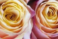 Rosa floresce o macro Imagem de Stock