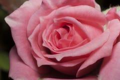 Rosa floresceu tomado perto acima Foto de Stock Royalty Free