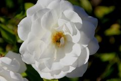 Rosa-floribunda ` Eisberg ` stockfoto