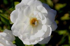 Rosa floribunda ` góry lodowa ` zdjęcie stock
