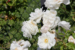 Rosa floribunda 'Iceberg'. Very popular rose cultivar with glossy green leaves and fragrant white flowers in long clusters most of the year stock photography
