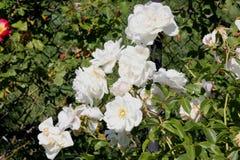 Rosa floribunda & x27; Iceberg& x27; zdjęcia stock