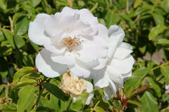 Rosa floribunda & x27; Iceberg& x27; obrazy stock