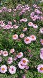 Rosa flower power Arkivbild