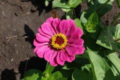 Rosa flowerhead des allgemeinen Zinnia von oben Stockfotos