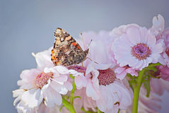 Rosa flowers in summer with a butterfly. Rosa flowers in summer in the garden with a butterfly Royalty Free Stock Photo