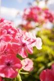 Rosa flox - härliga blommor fotografering för bildbyråer