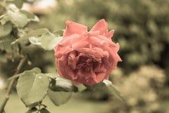 rosa Foto envejecida Filtro envejecido Fotografía de archivo libre de regalías