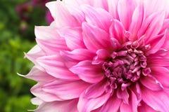 Rosa fotografi för makro för detaljer för ny blomma för dahliaboll med gräsplan ut ur fokusbakgrund arkivfoto