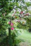 Rosa Früchte auf Baum Stockbilder