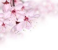 Rosa Frühlingsblüte Stockfotografie