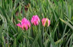 Rosa Frühlingsblume lizenzfreie stockbilder