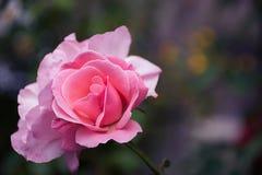 Rosa Frühlingsblumen-Anlagenjapaner Rosa chinensis stieg Lizenzfreie Stockbilder