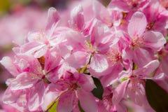 Rosa Frühlingsblumen auf einem Baum Stockbild