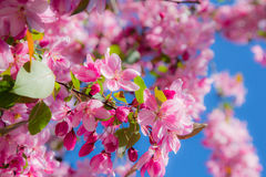 Rosa Frühlingsblumen auf einem Baum Stockfotos