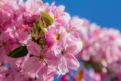 Rosa Frühlingsblumen auf einem Baum Stockbilder