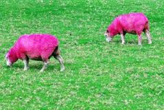 rosa får Royaltyfri Bild