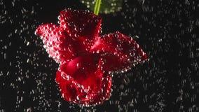 Rosa fragante roja hermosa debajo del agua chispeante en fondo negro Tiroteo macro Cierre para arriba metrajes