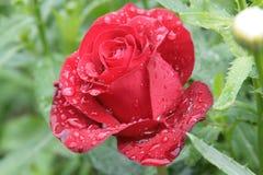 Rosa fragrante di fioritura fotografie stock