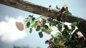 Rosa Francia del rosa almacen de video