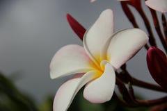 Rosa frangipani Royaltyfri Foto