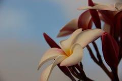 Rosa frangipani Fotografering för Bildbyråer