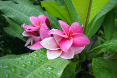 Rosa Frangipani-Blumen lizenzfreie stockfotos
