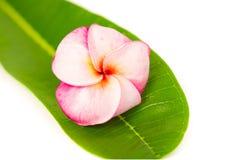 Rosa frangipani eller tropiska blommor för plumeria Arkivbilder