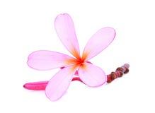 Rosa frangipani eller tropiska blommor för plumeria med droppe Royaltyfri Foto