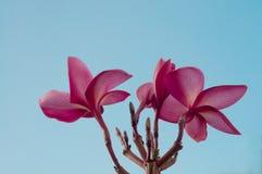 Rosa frangipani och blå himmel Arkivbilder