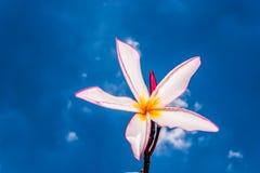 Rosa frangipani och blå himmel Arkivfoto
