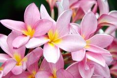 Rosa frangipani, plumeria, brunnsortblommor Royaltyfria Foton