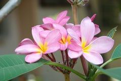 Rosa frangipani, plumeria, brunnsortblommor Royaltyfri Fotografi