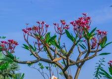 Rosa frangipanisidor i nya gröna sidor Royaltyfri Foto