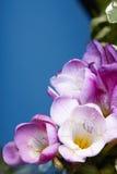 Rosa Freesieblüten Lizenzfreie Stockbilder
