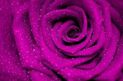 Rosa fresca de la púrpura con los pétalos abiertos cubiertos imagenes de archivo