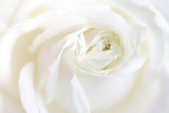 Rosa fresca di bianco Immagine Stock