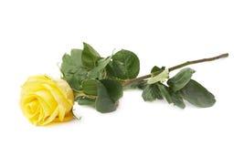 Rosa fresca di giallo isolata Fotografia Stock Libera da Diritti