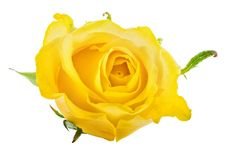 Rosa fresca do amarelo isolada no fundo branco Trajeto de grampeamento Imagens de Stock Royalty Free