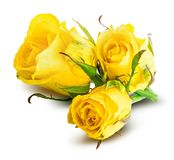 Rosa fresca do amarelo isolada no fundo branco Trajeto de grampeamento Fotos de Stock