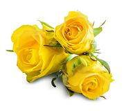 Rosa fresca do amarelo isolada no fundo branco Trajeto de grampeamento Imagem de Stock Royalty Free