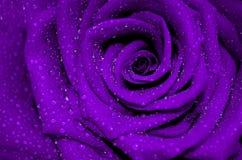Rosa fresca do roxo com as pétalas abertas cobertas Fotos de Stock Royalty Free