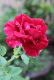 Rosa fresca no fundo do jardim Fotos de Stock Royalty Free