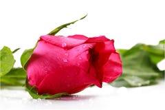 Rosa fresca rosada aislada en un fondo blanco Fotografía de archivo