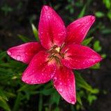 Rosa fresco lilly fotografía de archivo