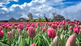Rosa fresco Tulip Flowers Garden fotografia stock libera da diritti