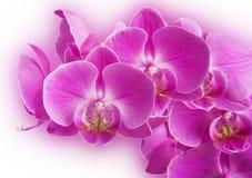 Rosa färg görad strimmig orchidblomma Royaltyfria Foton