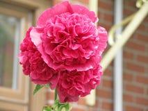 Rosa färgblomma Arkivfoton