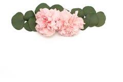 Rosa färgblomma- och eukalyptusbaner bakgrund blommar white Royaltyfri Foto